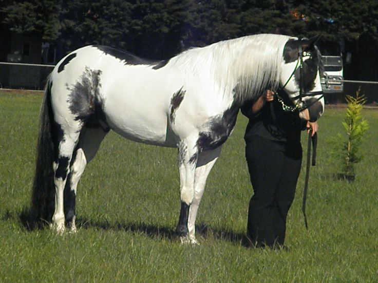 paint clydesdale - photo #36