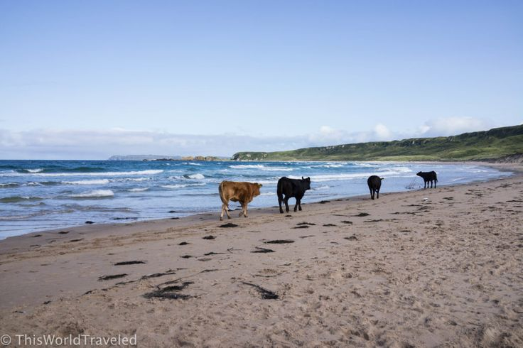 Four cows walking along the golden sand at White Park Bay Beach in Northern Ireland