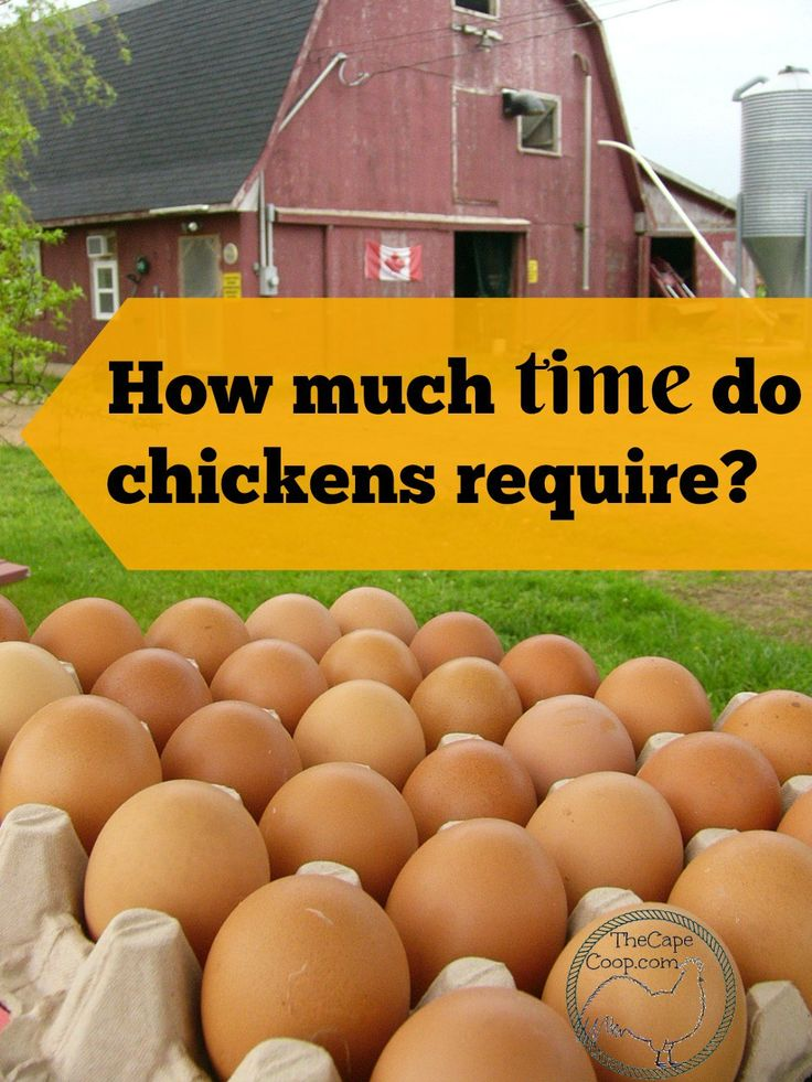 How much time do chickens require?