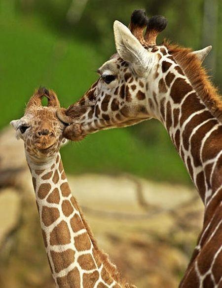 Giraffes: A Kiss, Mothers Day, Giraffe, Shower Baby, Pucker Up, Baby Animal, Eye, Adorable Animal, Baby Shower