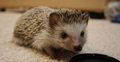 Hedgies R Us Hedgehogs for sale in Cincinnati, Ohio