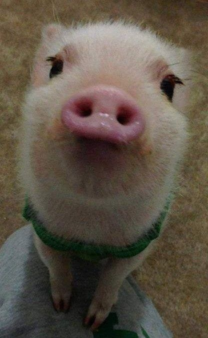 Begging for my love? Of course you have it all my wittle piggie