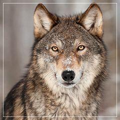 Amor, relacionamentos saudáveis, fidelidade, generosidade, ensinamento e habilidades sociais. O lobo é um animal com inteligência social e sentidos extremamente apurados.