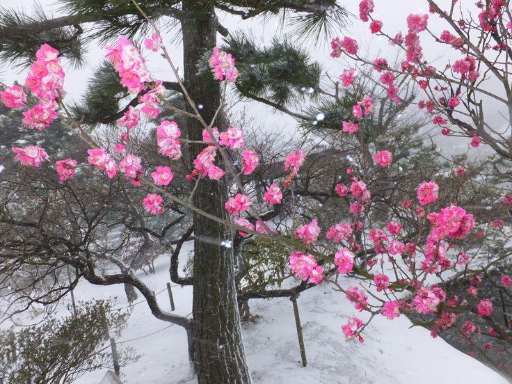 雪と梅(その16)