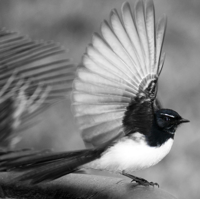 Willy Wagtail  Rhipidura leucophrys