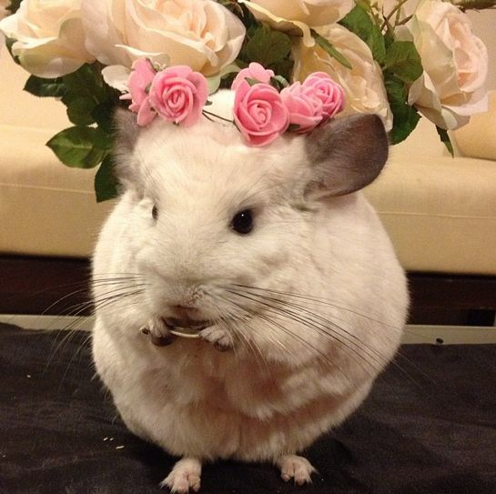 This Is The Most Important Chinchilla On Instagram Right Now