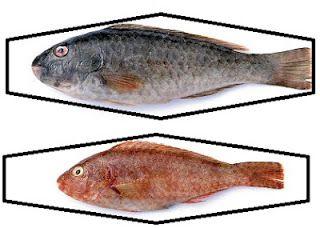 Το ψάρεμα στη ζωή του Ανθρώπου: ΤΟΥ ΣΚΑΡΟΥ ΤΑ ΚΑΜΩΜΑΤΑ