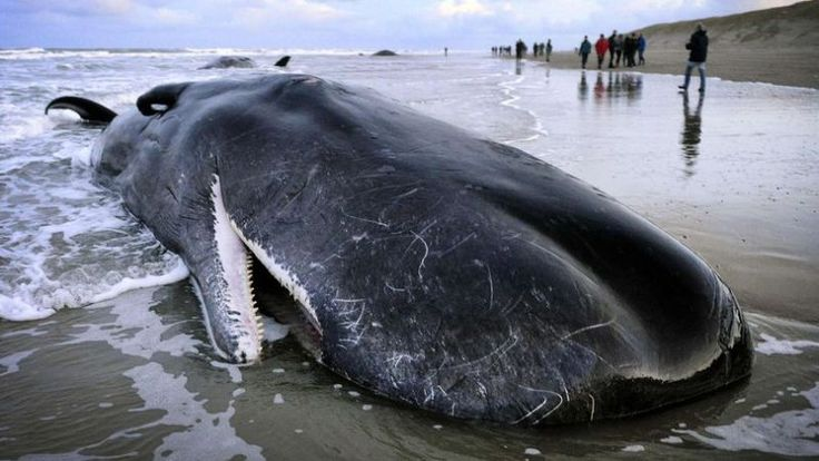 Sperm Whales Washing Up On British Beaches Died 'After Straying Into Shallow Waters Hunting Squid' (VIDEO)