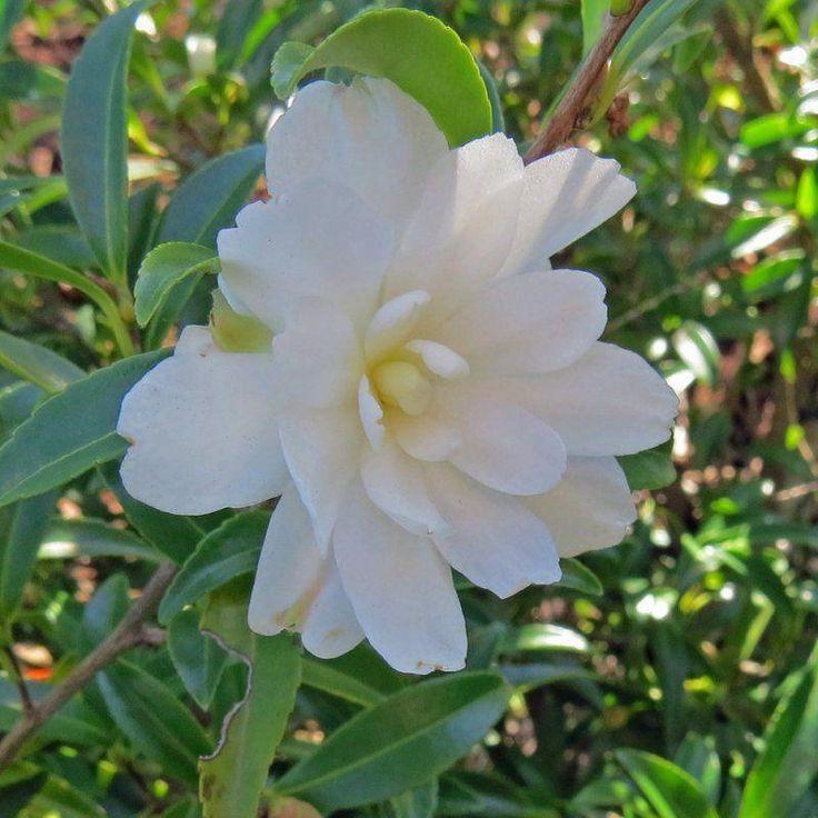 Kings Plant Barn - Camellia Sas Paradise Little L
