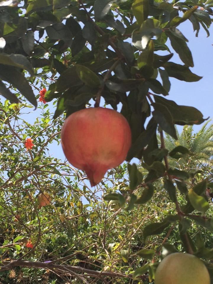 Es importante cosechar las granadas cuando estén bien maduras y no dejar que se mojen con la lluviar, sino la fruta se raja y hasta puede dañarse. Esta foto la compartió Aida Luz Soto en el muro de Facebook de Agrochic.