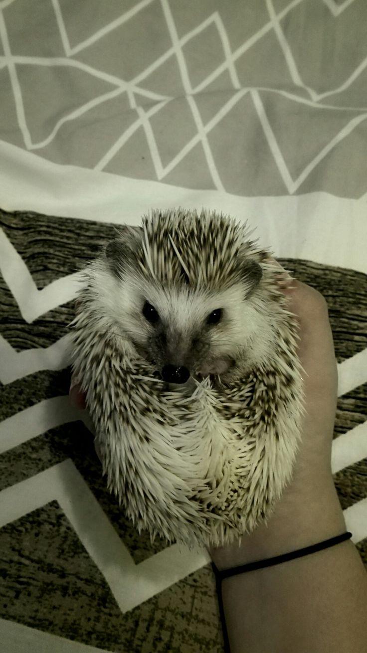 Hedgehog, my pet, ježek bělobřichý
