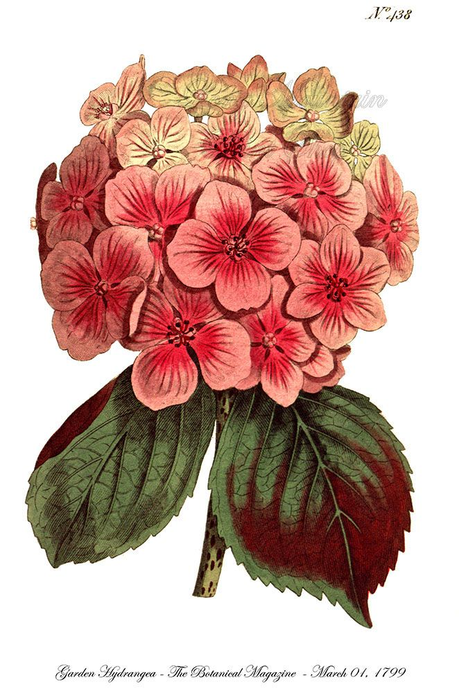 Garden Hydrangea Pink Bloom Fine Art Botanical Print