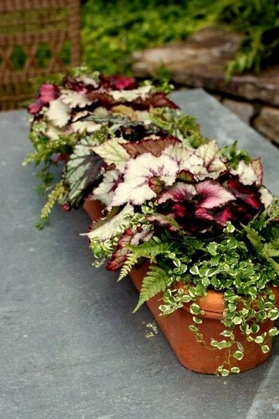 Begonia, Ferns Creeping Fig Good plants for shaded areas ( trellis, hanging baskets, etc.)