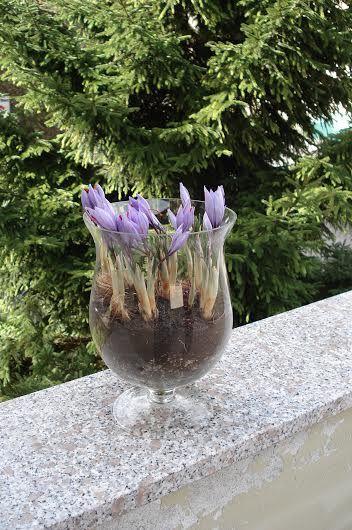 Come coltivare lo zafferano in vaso e sul balcone.