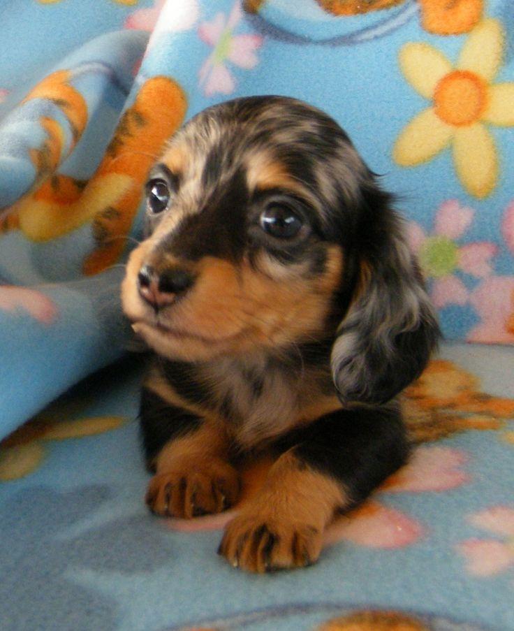 Teacup Weiner   Leppold's Mini Dachshunds #teacupdogslist #teacupdogs…