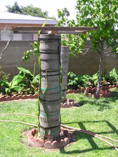 dragonfruit trellis made from a palm tree