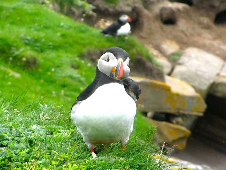 Do you absolutely love puffins? While they spend most of their time at sea, they venture on shore for mating season! Learn how to spot puffins on land in Scotland, or simply view the gorgeous photos included in this hub.