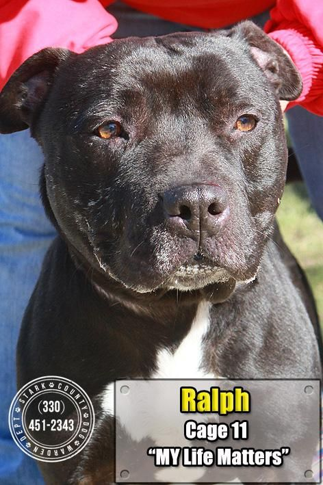 11 Ralph is an adoptable Pit Bull Terrier searching for a forever family near Canton, OH. Use Petfinder to find adoptable pets in your area.