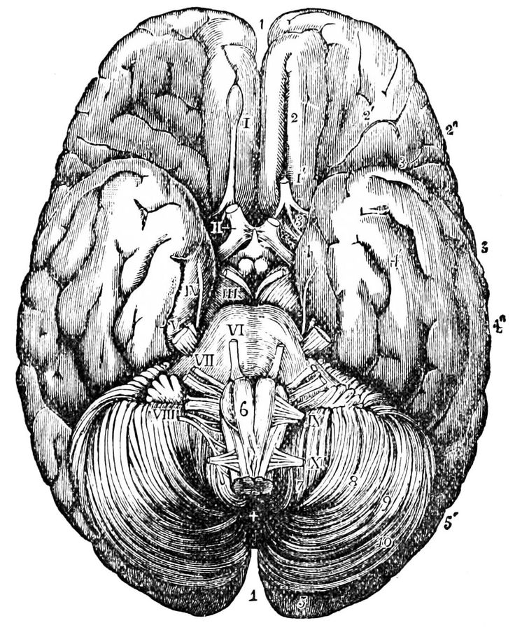 Human Brain Anatomy Illustration