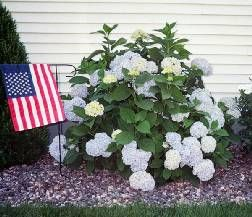 25 best ideas about pruning hydrangeas on pinterest hydrangea garden hydrangeas and when to - Nature curiosity stressed out plants emit animal like signals ...