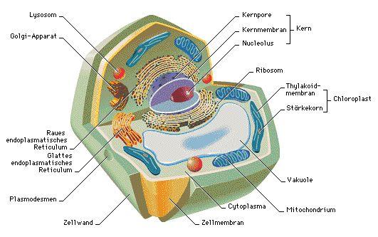 ribosomen in einer zelle - Google-Suche