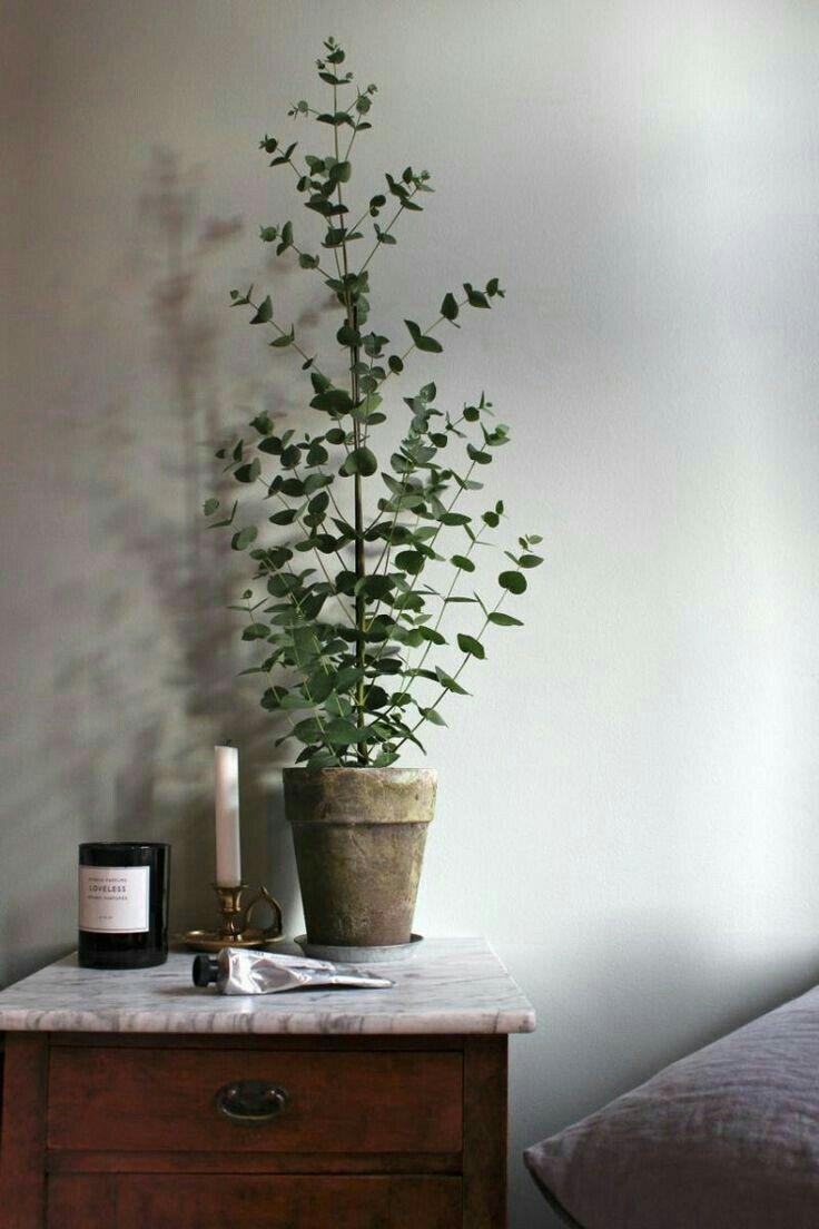 Potted eucalyptus
