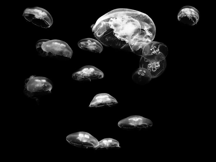 Afloat by Miraks  on 500px #jellyfish #photography #black&white