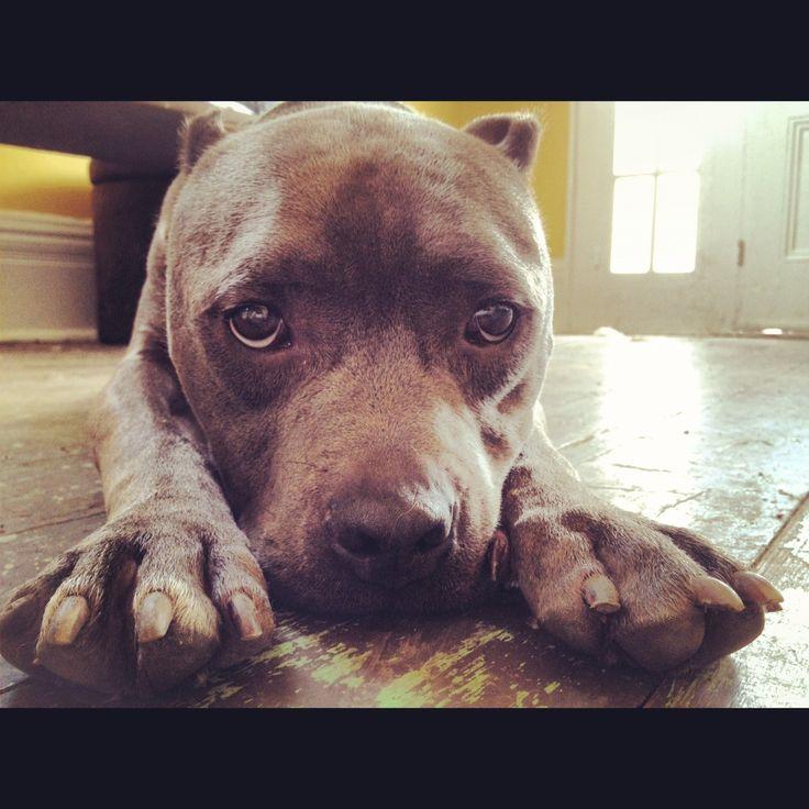 Villa Lobos Pitbull Rescue Dogs For Adoption