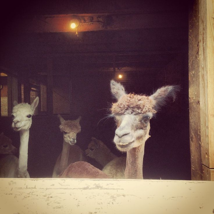 Alpacas after shearing.