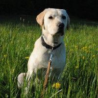 #dogalize Origini del cane Labrador Retriever: un po' di storia #dogs #cats #pets