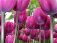 Sobre tulipas roxas
