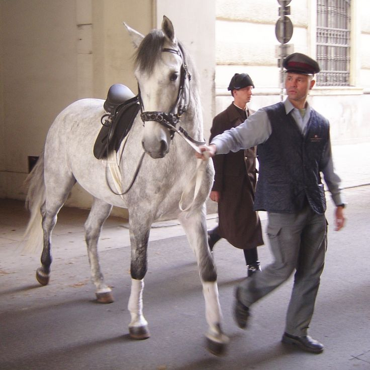 A young Spanish Riding School Stallion on his way to training