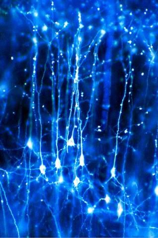 Synapse - Neurons in the brain Credit: Dr Jonathan Clarke. Pyramidal neurons forming a network in the brain. These are nerve cells from the cerebral cortex that have one large apical dendrite and several basal dendrites. Colour-enhanced light microscopy 2003 Published: