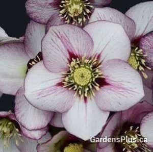 French Kiss Hellebores  Part shade for sure and bloom so early!