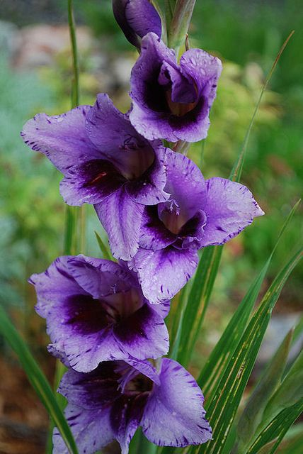 """""""Gladiolus 'Passos' """"     