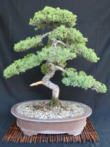 Bonsai tree....lots of info here on how to grow, types, etc.