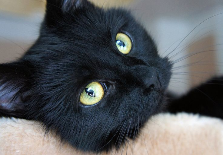 big yellow eyes: Yellow Eye, Magic Cat, Dogs, Big Yellow, Black Cats, Aww Cat, Cats Black, Cat Crazy, Cat Black
