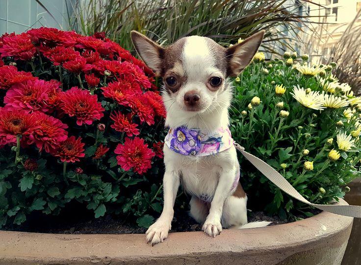 Designer flower small dog harness #chihuahua #chihuahualovers #dog #smalldog #funnydog #puppy #puppylovers #cuteanimals #dogclothes #chihuahuaclothes #chihuahuasweater #dogsweater