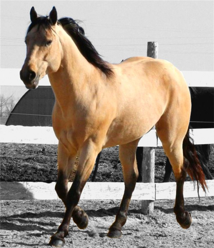 All horses are stunning, but a bay, bay dun or buckskin quarterhorse with those gorgeous dark accents...my favorites.
