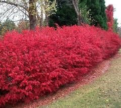 Chicago Fire Burning Bush  euonymus alatus chicago fire