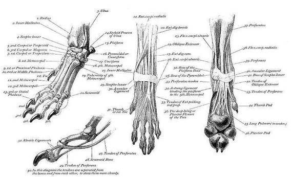 Dog foot anatomy