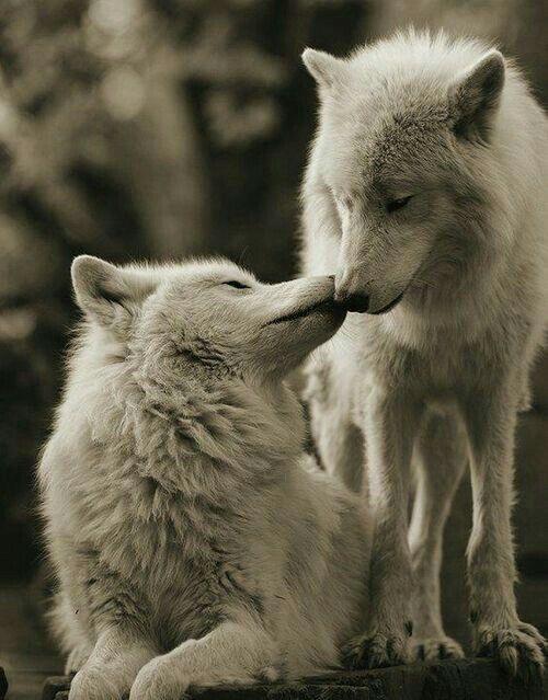Картинки про волков карандашом очень