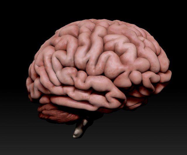 3d Human brain PRO 3D Model .max .c4d .obj .3ds .fbx .lwo .stl @3DExport.com by leandroacosta