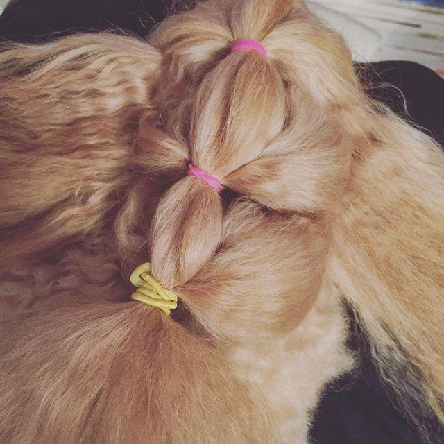 Good hair day 💁🏼♂️✨ #トイプードル #トイプードル男の子 #犬 #子犬 #可愛い #好き #愛犬 #わんちゃん #ワンチャン #トイプー #といぷーどる #小型犬 #ワンコ #ペット #パピー #トイプードル大好き #わんこ#いぬ #dog #puppy #poodle #toypoodle #pudel #toypudel #apricottoy #instapoodle #toypoodlelove #poodlepower #toypoodlelover #toypoodlestagram