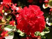 Kırmızı Sardunya http://www.fidanistanbul.com/urun/2806_kirmizi-sardunya.html sipariş için 0226 814 00 41 Fidan Satışı, Fide Satışı, internetten Fidan Siparişi, Bodur Aşılı Sertifikalı Meyve Fidanı Süs Bitkileri,Ağaç,Bitki,Çiçek,Çalı,Fide