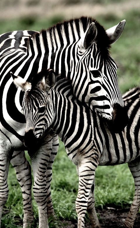Zebra baby and mother - photo#2