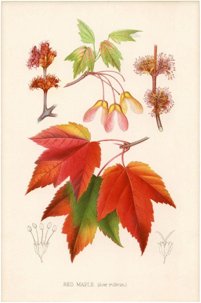 Vintage Printable Maple Leaves - The Graphics Fairy