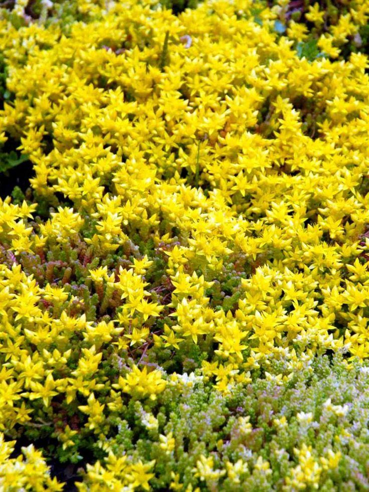 Gul Fetknopp, Sedum acre 'Yellow Queen' - Mattbildande perenn med gula blommor och gulgrönt bladverk. Blommorna sitter glesa kvastar och varje blomma liknar en liten stjärna. Blommar juni-juli.