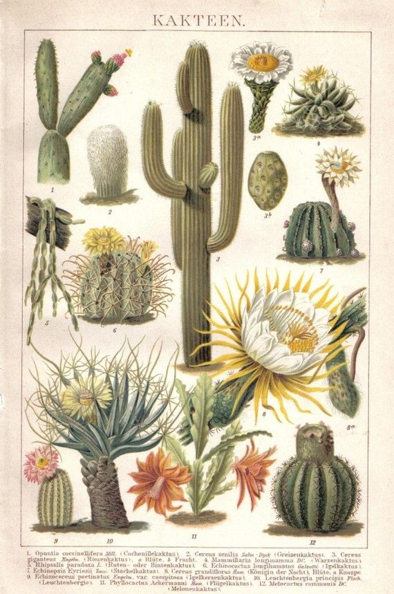 1903 Cactus Cacti Saguaro Cactus Queen of by CabinetOfTreasures