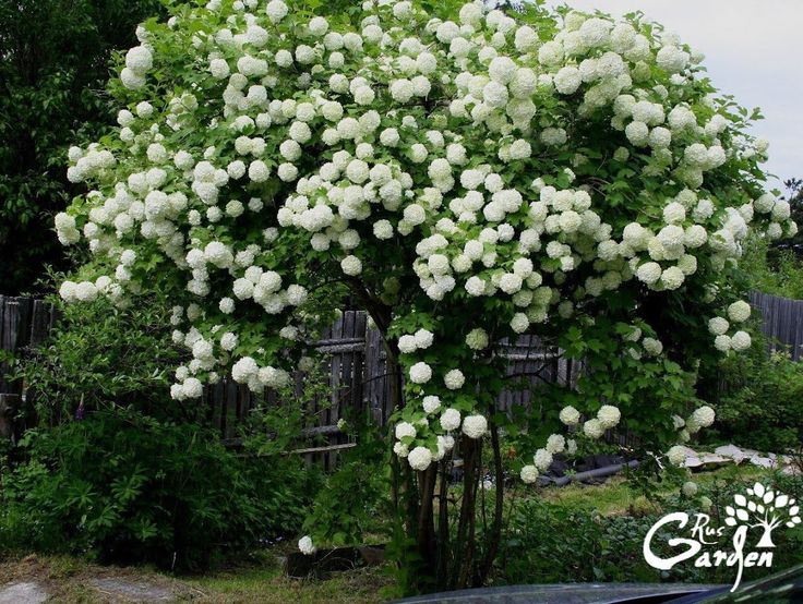 How to Grow Snowball Trees.  A snowball tree (Viburnum opulus Sterile) is a deciduous shrub that is also known as a guelder rose.  Steps: 1. Find a…